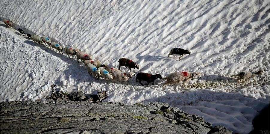 உணவுக்காக ஆபத்தான பனிப்பாறை பாதைகளை கடக்கும் ஆடுகள்! சுவாரஸ்ய கதை