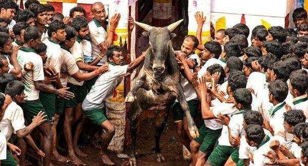 அலங்காநல்லூா் ஜல்லிக்கட்டில் சீறிப் பாய்ந்த அமைச்சர் விஜயபாஸ்கரின் 3 காளைகள்! களத்தில் கெத்து காட்டி வீரர்களை பந்தாடியது!