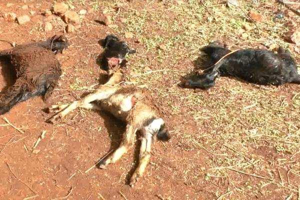 மர்ம விலங்குகளின்அட்டகாசத்தால் 100 க்கும் மேற்பட்ட ஆடுகள் பலி